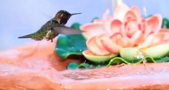 Un colibrì arriva sulla fontana: quello che fa in 2 minuti è uno capolavoro della natura