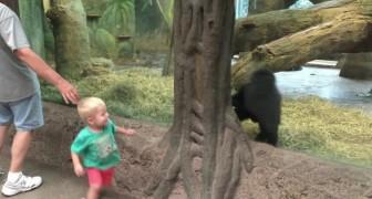 Un niño y un gorila cachorro se observan: lo que hacen poco despues no tiene precio