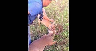 Il trouve deux cerfs encastrés avec leurs cornes, regardez comment il les libère... Wow!