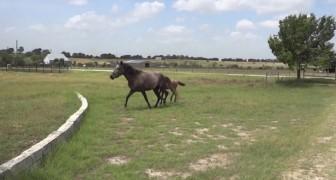 Het paardje weet niet hoe hij over het muurtje kan komen, de manier waarop zijn moeder laat zien hoe het moet, is spectaculair
