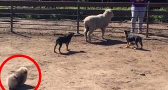 2 Schäferhunde verfolgen ein Schaf, aber behaltet den Wattebausch im Auge