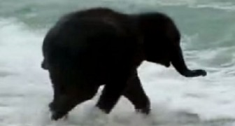 This young elephant sees the sea for the first time: his reaction is beyond expectations