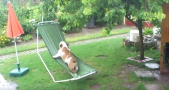This bulldog loves playing in the garden, but here's what happens when it starts raining