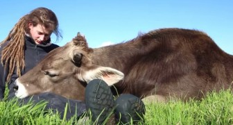 En tjur lutar huvudet mot hennes ben.... Hur den beter sig är helt otänkbart