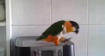 Sabemos que todos los papagallos saben hablar, pero lo que hace este es mucho mas!