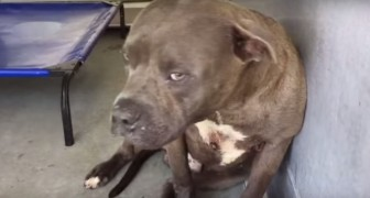 This pitbull was used for fighting: here's what he does when someone shows him affection !