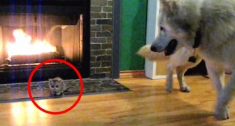 They take home a tiny kitten ... but the first meeting with the dog takes an unexpected turn!