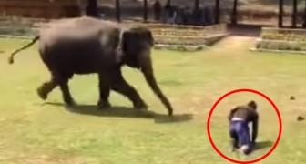 L'uomo che si prende cura di lui cade in terra: la reazione dell'elefante fa venire la pelle d'oca