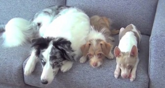 3 different dogs are on the couch: what they can do together is beyond belief