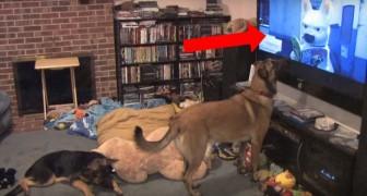 Zijn favoriete film is op TV... het gedrag van deze hond zal een glimlach op je gezicht toveren!