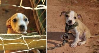 L'emozionante salvataggio di un cucciolo incatenato e destinato a combattere