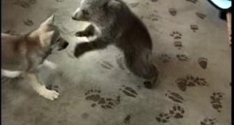 Lobo juega con un oso