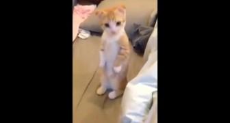 Pendant qu'il passe l'aspirateur, le comportement du chaton est adorable!