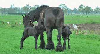 A mother gives birth to two baby horses: here are some beautiful moments, filmed 4 days later.