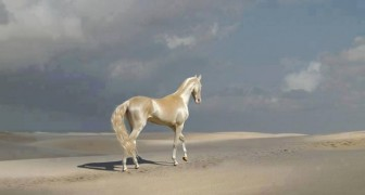 Die Eigenschaften des Akhal-Teke, einem der schönsten Pferde der Welt