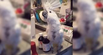 Ce perroquet aime danser mais pour le final il fera même plus... Trop fort!