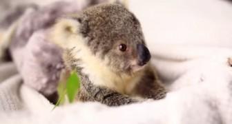 De börjar fotografera en baby koala, men ingen förväntade sig en sån modell!
