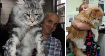 Vi presentiamo il gatto domestico più grande del mondo: scoprite la sua storia i suoi segreti