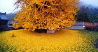 Depuis 1400 ans, cet arbre offre à chaque automne un spectacle à couper le souffle