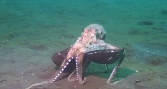 An octopus carries a coconut: why ? You won't believe it !