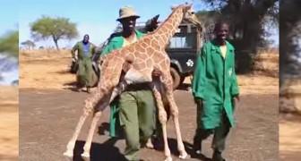 La madre di questa giraffa è scomparsa, ma guardate cosa fa quando la avvicinano