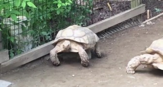 A turtle gets stuck: what his friend does is AMAZING
