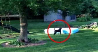 Barnen gömmer sig under poolen: det som hunden gör kommer att få er att gapskratta