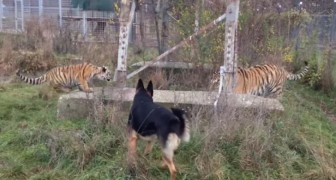 Deze honden rennen af op een paar tijgers, maar gelukkig reageren de tijgers niet zoals je misschien zou vrezen