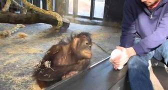 Hij laat een orang-oetan een goocheltruc zien. De reactie van de aap is verrassend!