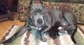 De eerste ontmoeting tussen deze pitbull en weeskatje overtreft ieders verwachtingen