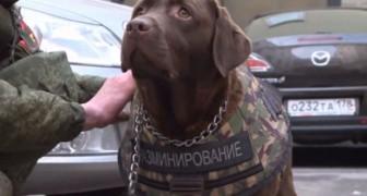 Arrivano i giubbetti antiproiettile per cani, così anche loro saranno protetti come i poliziotti