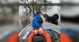 Een ezel wordt gered na een overstroming... Zijn reactie wist miljoenen mensen in het hart te raken
