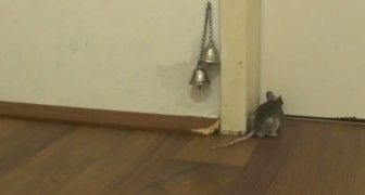 How does a mouse knock on the door ? You will not believe it until you see it with your eyes