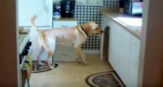 Un cane rovista in cucina per prendere la sua ricompensa... Immaginate cosa prenderà?