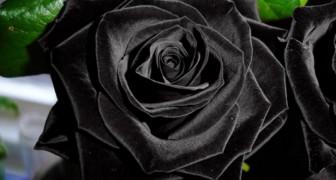 Sapevate che le rose nere esistono realmente in natura?