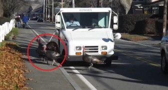 A postman is attacked DAILY by some turkeys ... The solution is hilarious!