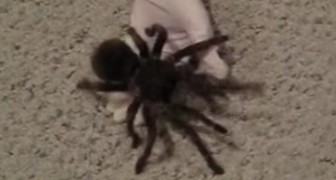 Listen to the noise this tarantula makes... It will make you cringe!