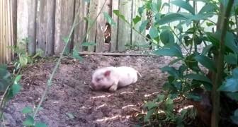 Cosa succede quando un maialino va su di giri? Troppo forte!!!
