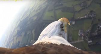 Attaccano una videocamera all'aquila reale: il volo è emozione pura