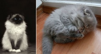 25 gatti che sembrano fatti di ovatta: morirai dalla voglia di abbracciarli