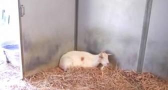 La capra salvata trascorreva i giorni in un angolo: il motivo commuove i proprietari