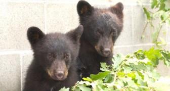 L'assurda storia dell'ufficiale che è stato licenziato per aver salvato 2 orsi orfani