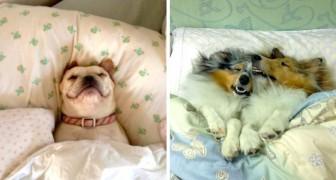 Cani che si sono appropriati dei letti dei loro padroni - e non hanno alcuna intenzione di lasciarli