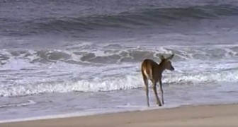 A deer sees the ocean for the first time ... Don't miss her reaction!