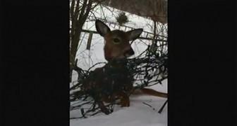 Ele pára para ver um veado, então ele percebe que o animal precisa de ajuda...