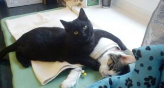 Radamenes, il gatto che conforta gli animali post-operazioni chirurgiche con un abbraccio