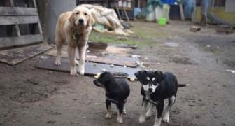 2 chiens sont sauvés d'un abattoir pour faire de la VIANDE... voici leur premier moment de liberté!