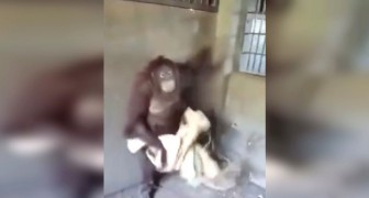 Everyone knows that primates are intelligent, but what this orangutan does is really BEYOND!
