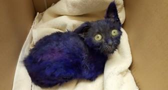 Un gattino blu viene trovato in una scatola: ciò che scoprono i medici è terrificante