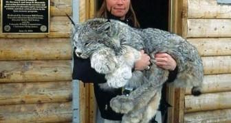 Le enormi zampe della lince canadese la rendono una creatura unica e meravigliosa